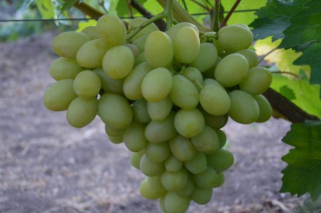 виноград маэстро описание и фото